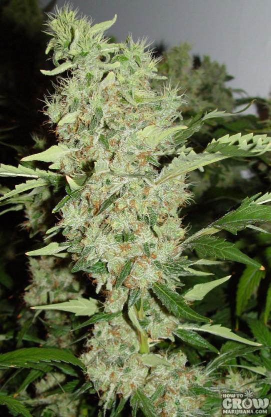 Serious – Bubble Gum Marijuana Seeds