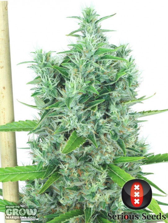 Serious – Kali Mist Feminized Seeds