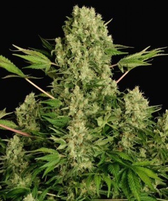 Serious White Russian Feminized Seeds