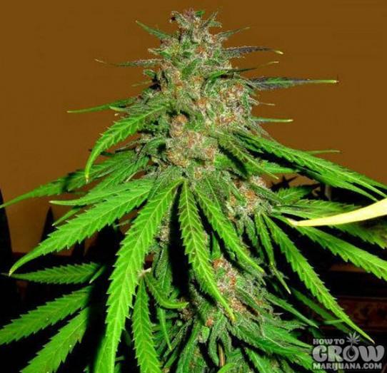 Cannabis Skunk Red Hair Feminized Marijuana Seeds