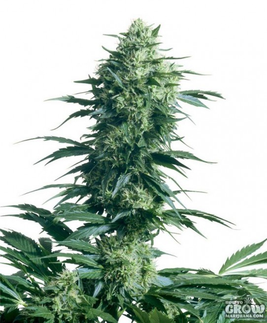 Female – Skunk Special Feminised Seeds