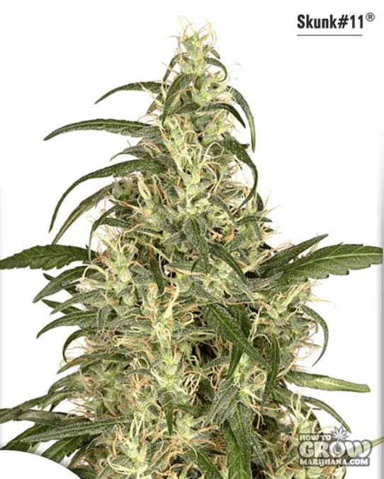 Dutch Passion – Skunk #11 Feminized Seeds