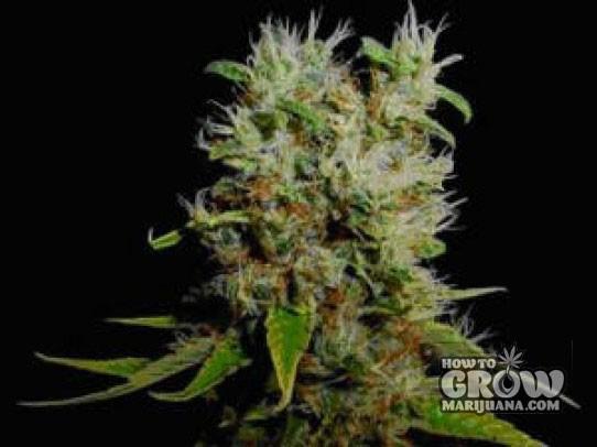 Soma – Buddha Sister Feminized Cannabis Seeds