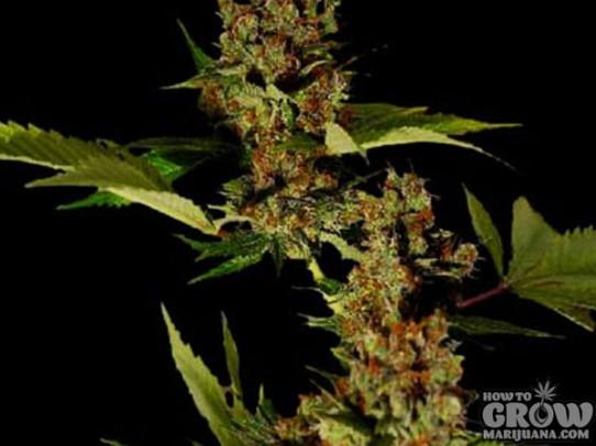 Soma G13 Haze X Free Tibet Seeds