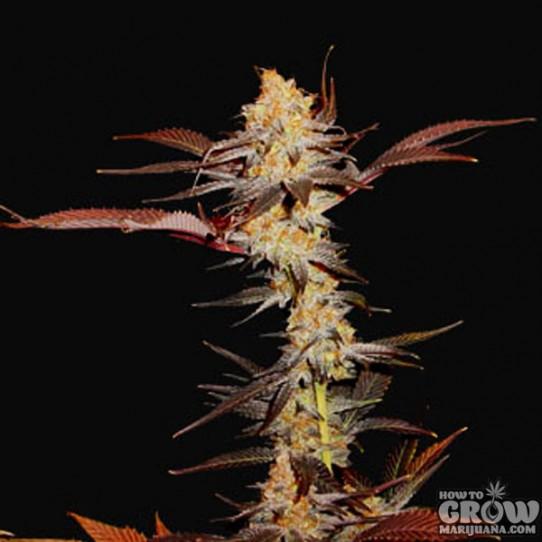 Soma G13 Haze X Lavender Seeds