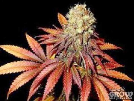 Soma – G13 Haze X Rock Bud Seeds