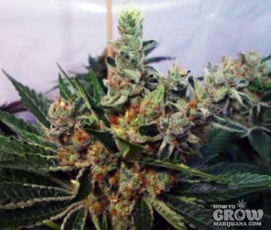 Soma – G13 Haze X White Willow Seeds
