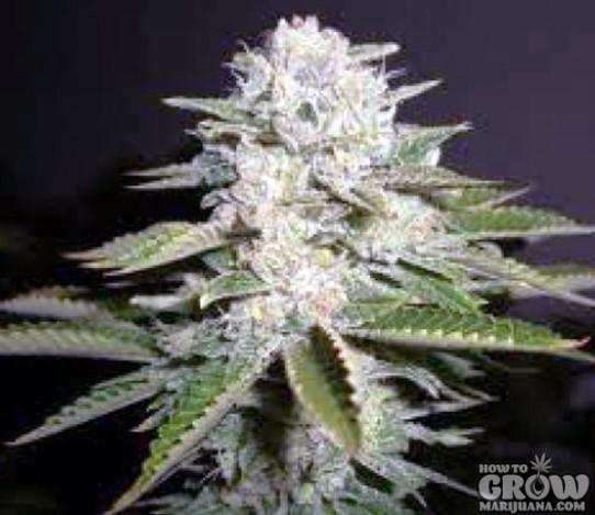 Soma White Willow Feminized Seeds