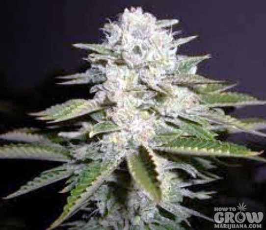 Soma – White Willow Feminized Seeds