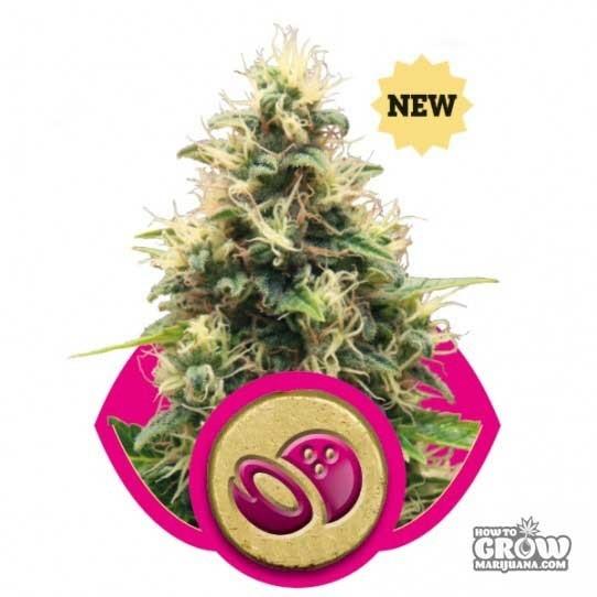 Royal Queen – Somango XL Femnized Seeds
