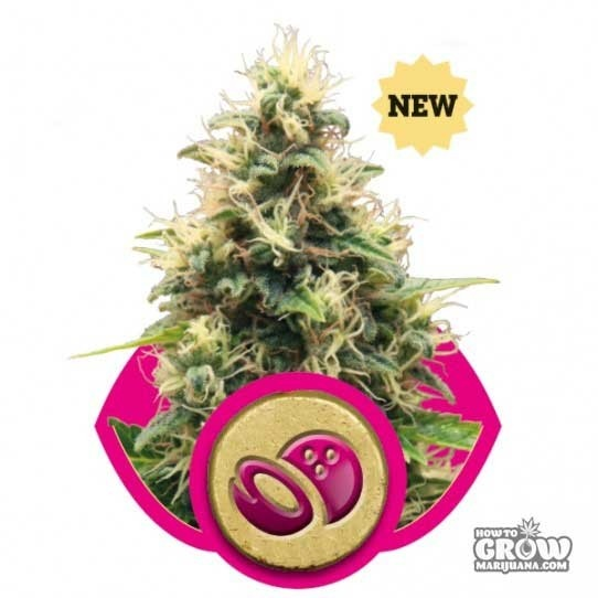 Royal Queen – Somango XL Femnized Seeds