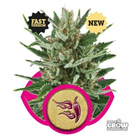 Royal Queen – Speedy Chile Fast Version Feminized Seeds