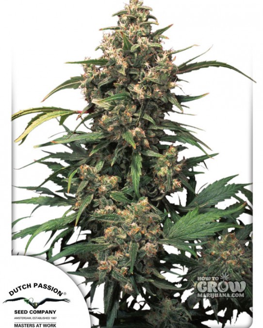 Dutch Passion – Strawberry Cough Marijuana Seeds