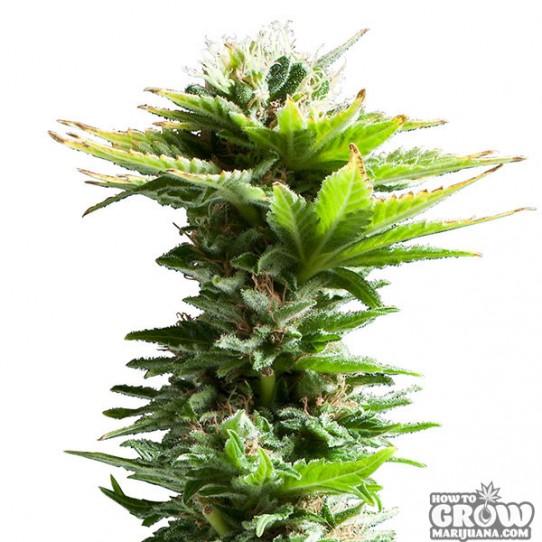 Super Silver Haze Marijuana Seeds – History, Auto-flowering and Feminized