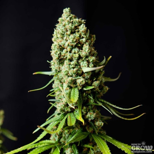 Super Skunk Seeds – BIG Review of Auto, Fem etc
