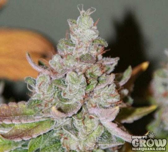 Cannabis – Swazi Marijuana Seeds