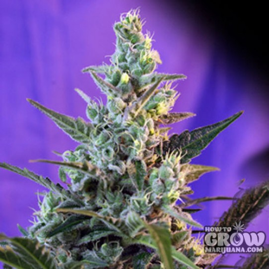 Sweet Seeds – Sweet Cheese Autoflowering Feminized