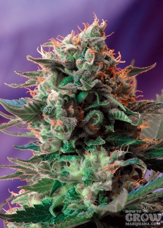 Sweet – Jack 47 F1 Fast Version Feminized Seeds