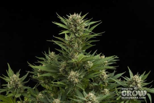 Royal Queen – Sweet Skunk Automatic Seeds