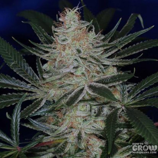 TGA SubCool – Jack The Ripper Seeds