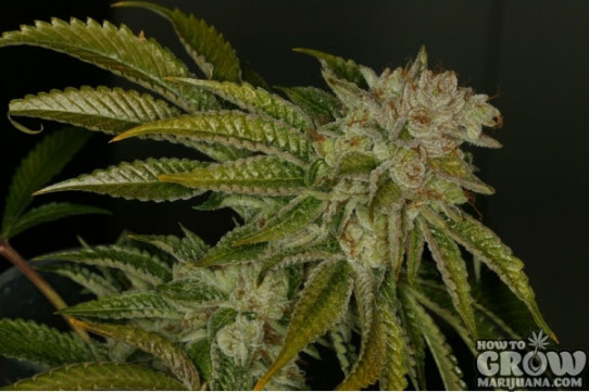 TH Seeds – MK Ultra Feminised Marijuana