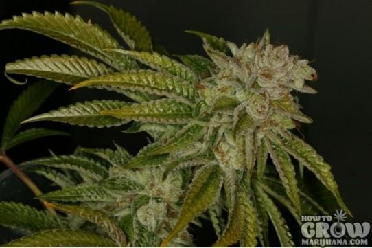 TH Seeds – MK Ultra Feminised Marijuana