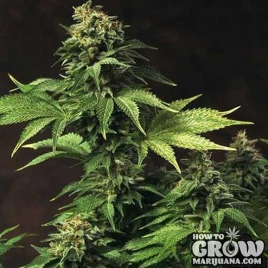 THSeeds – Akorn Seeds