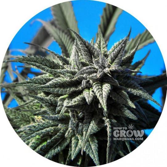 Tao – Auto Blueberry Tao Autoflowering Feminized Seeds