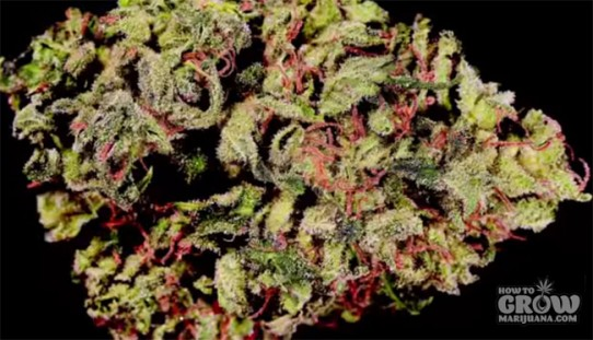 Greenwerkz – Tickle Kush Feminized Seeds