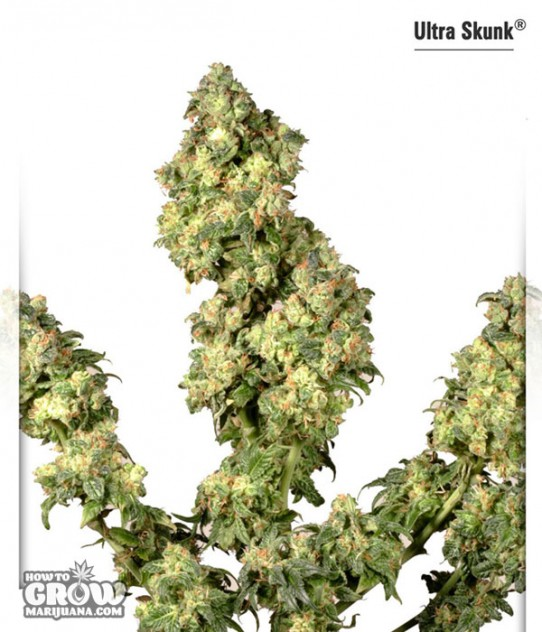 Dutch Passion –  Ultra Skunk® Feminized Seeds