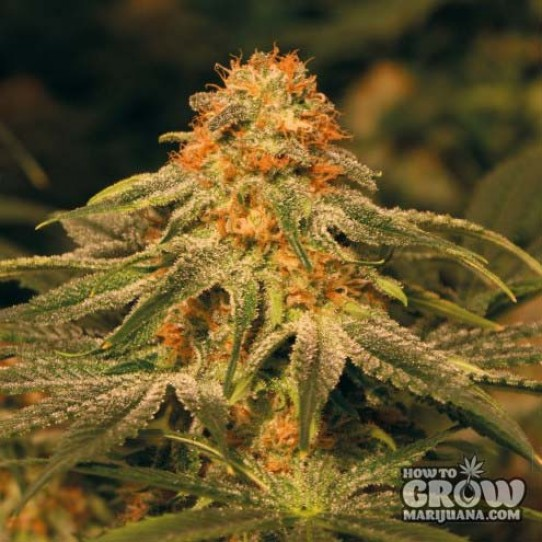 Barney's – Vanilla Kush Seeds
