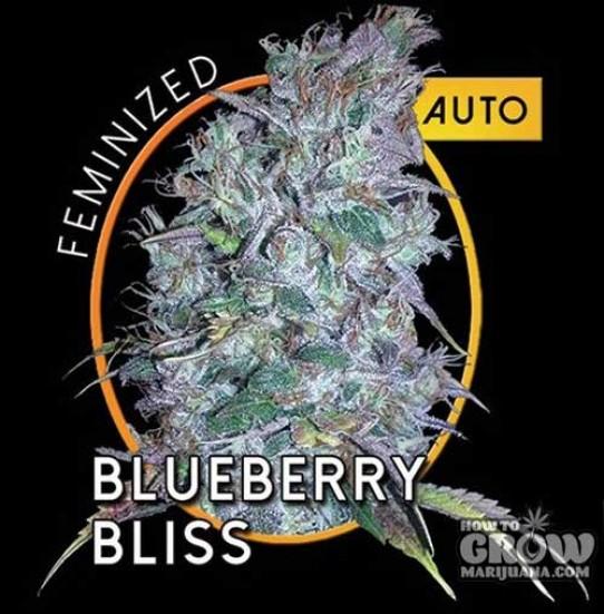 Vision – Blueberry Bliss Autoflowering Feminized Seeds