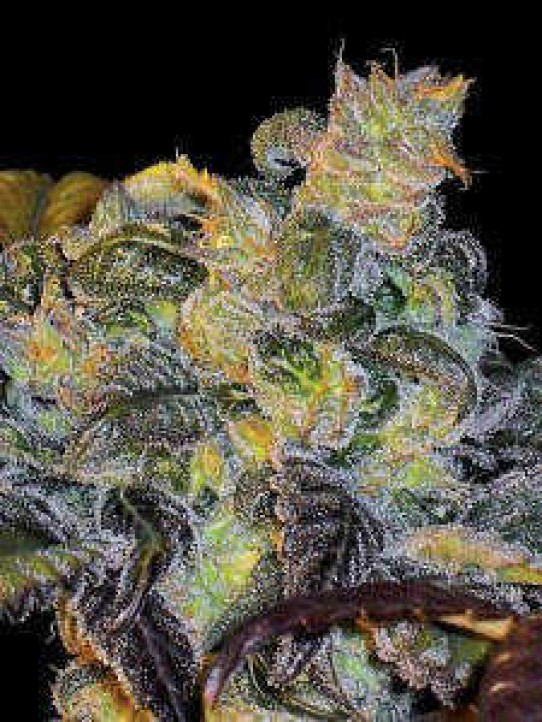 Whitaker Blues Weed Seeds
