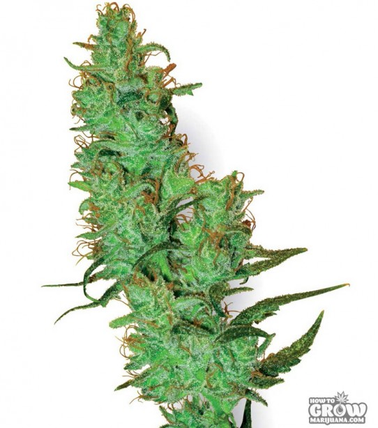 White Label – Jack Herer Feminized Seeds