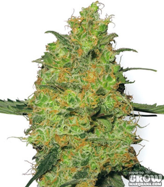 White Label - Master Kush Feminized Seeds