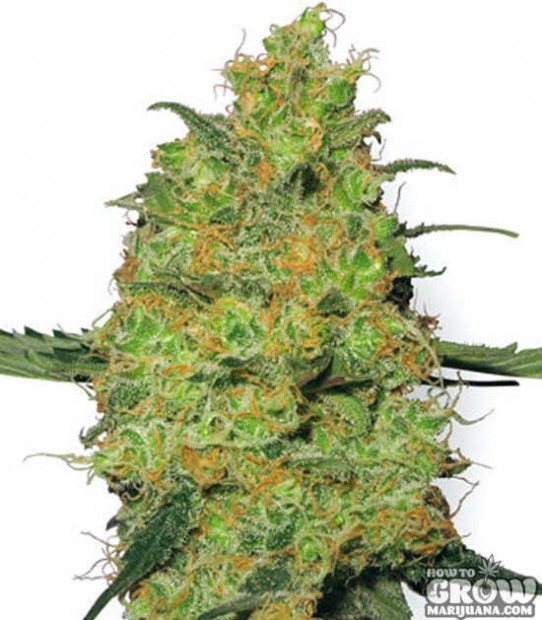 White Label – Master Kush Feminized Seeds