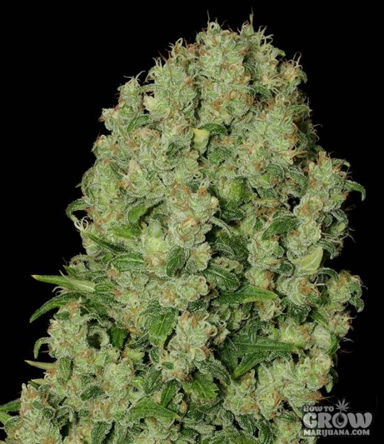 Serious – White Russian Seeds