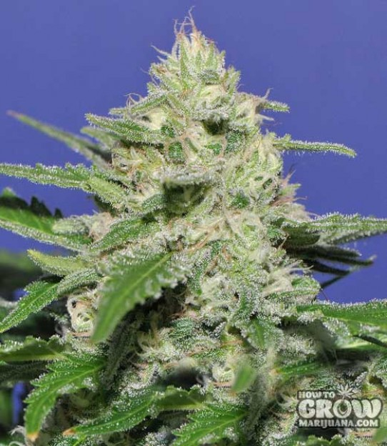 Bomb – Widow Bomb Feminized Seeds
