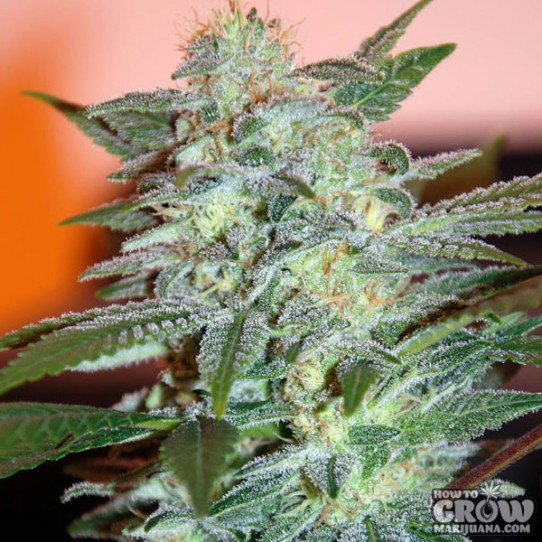 Yumboldt (Yumbolt 47) Marijuana Seeds