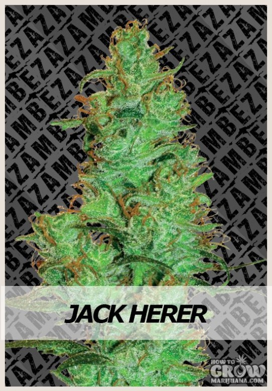 Zambeza – Jack Herer Automatic Feminized Seeds