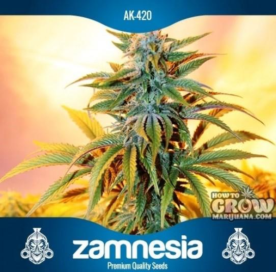 Zamnesia – AK420 Feminized Seeds