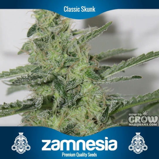 Zamnesia Classic Skunk Feminized Seeds