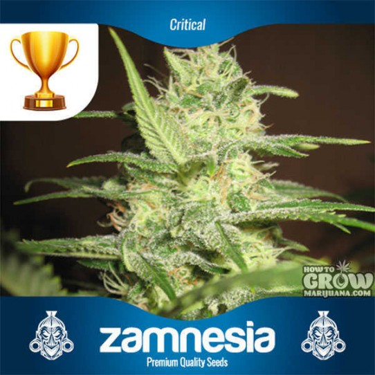 Zamnesia – Critical Feminized Seeds