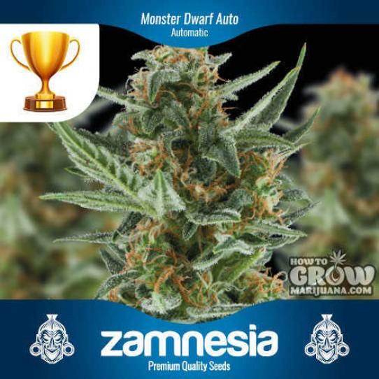 Zamnesia – Monster Dwarf Auto Feminized Seeds