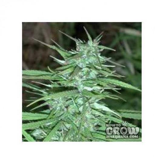Ace – Double Thai Marijuana Seeds