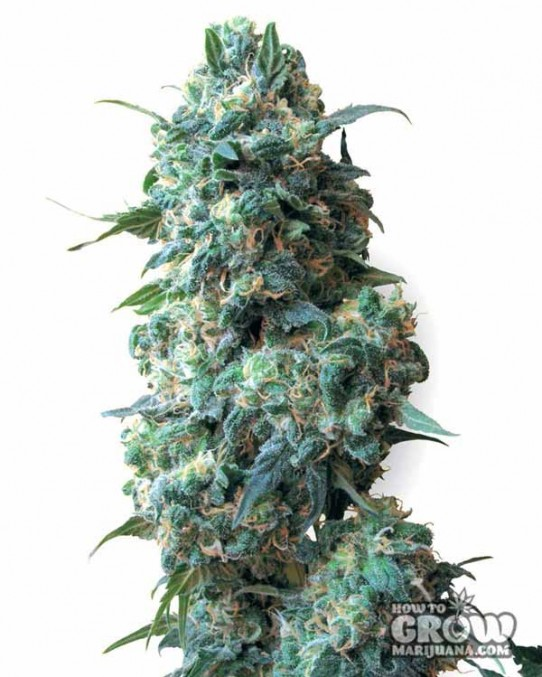 White Label – Afghan Kush Seeds