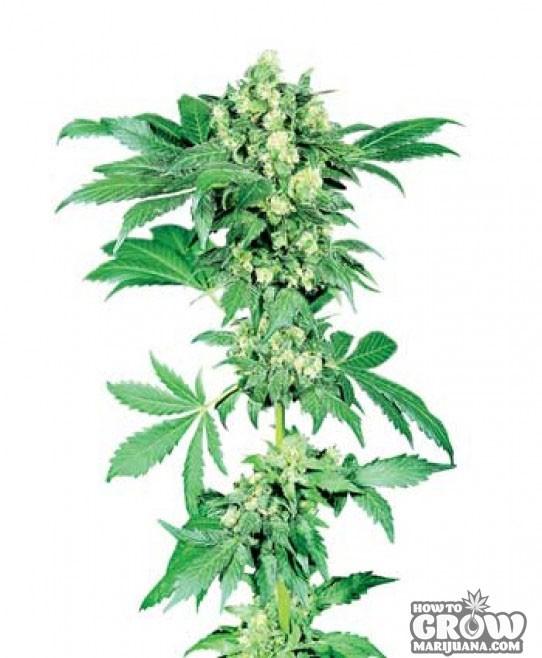 Sensi – Afghani #1 Marijuana Seeds