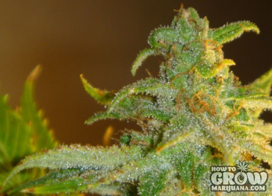 Green House – Afgooey Feminized Seeds