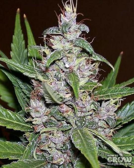 Nirvana – Aurora Indica Feminized Marijuana Seeds
