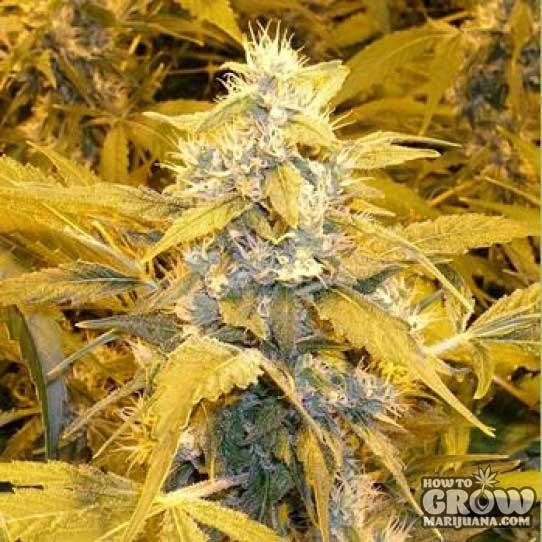 Auto Bubblelicious Marijuana Seeds